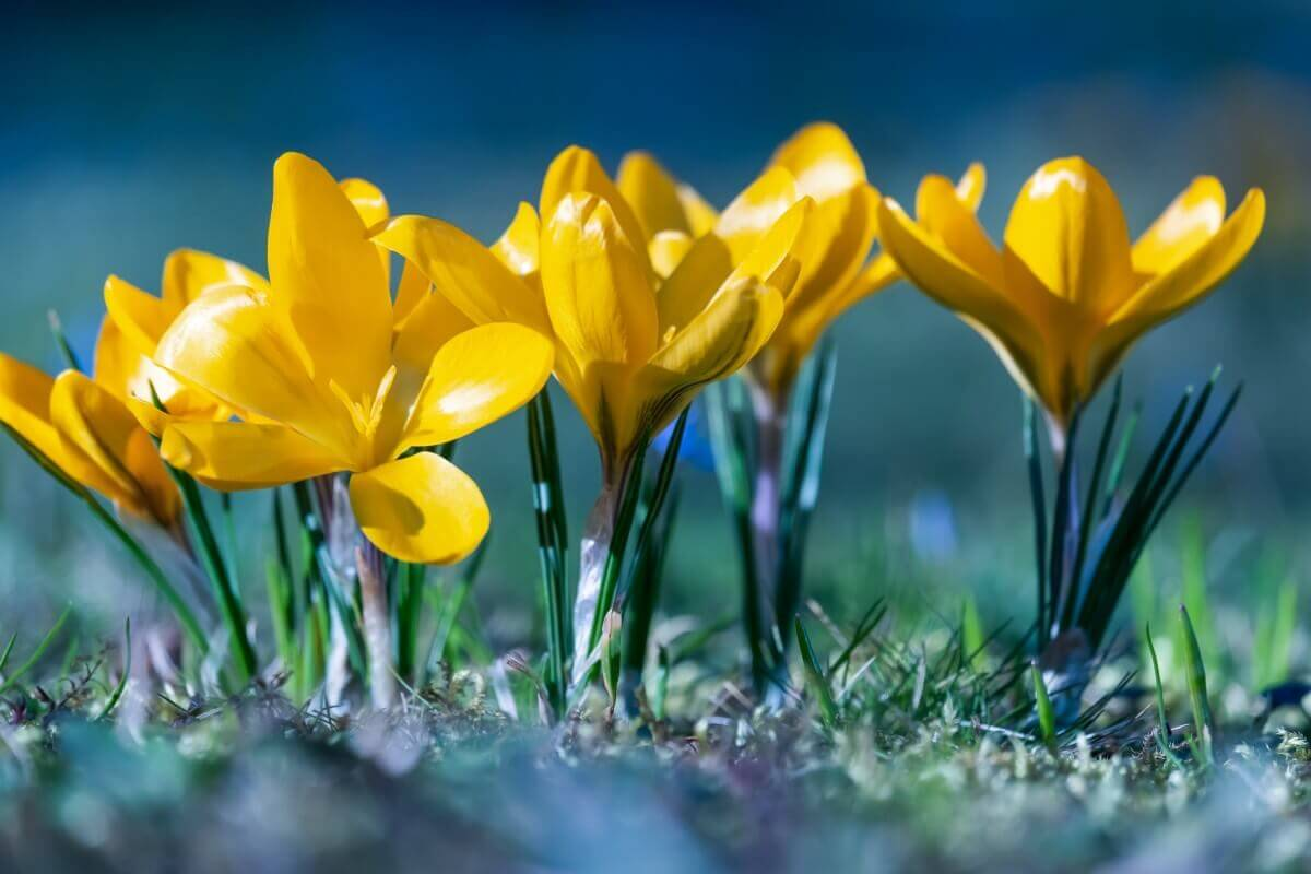fleurs jaune de crocus