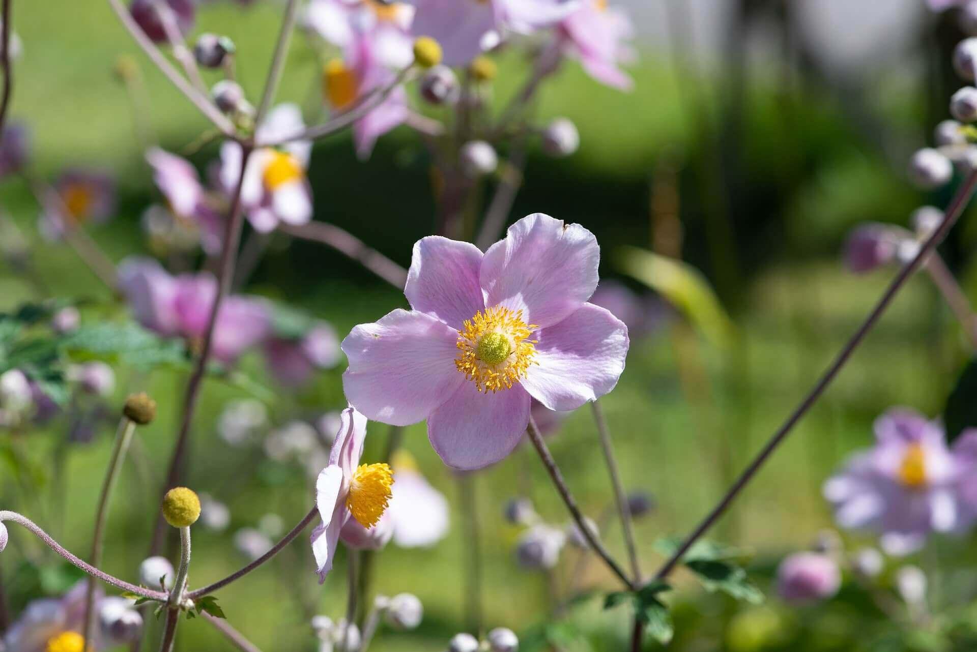 fleurs de l'anémone japonaise