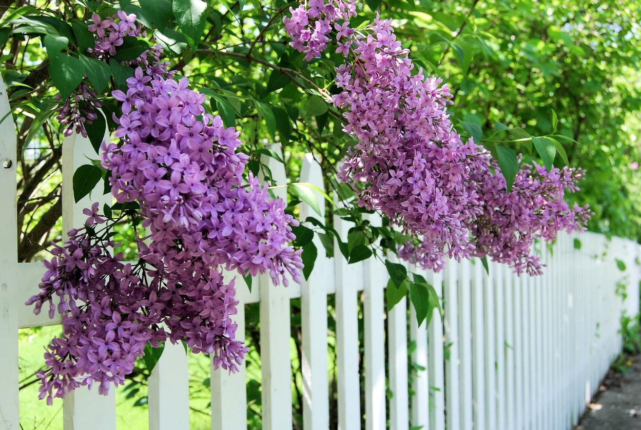 lilas - clôture