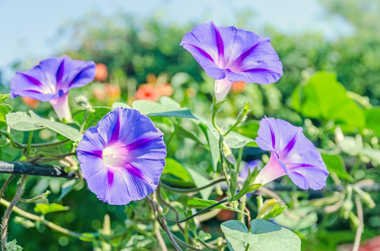 floraison - volubilis